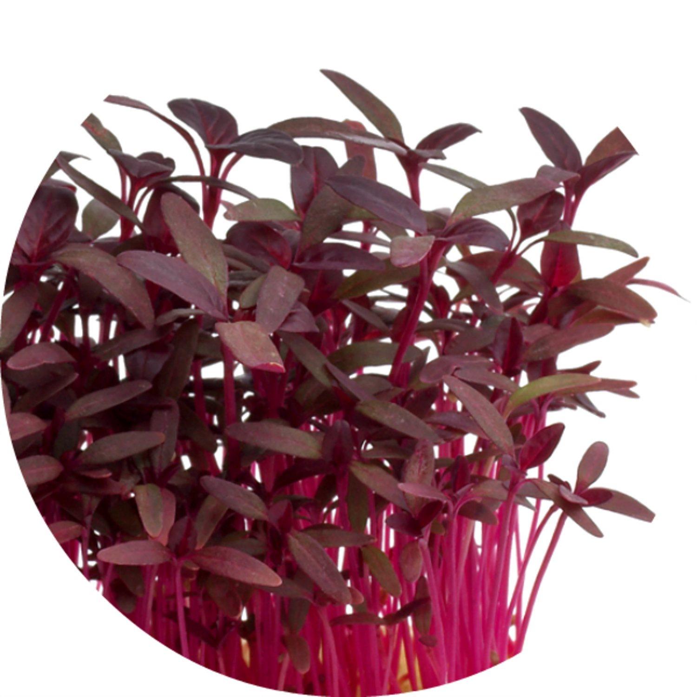 MICROGREEN röd amarant 190g VINTERODLA vinterodling skott mikroblad micro gröns
