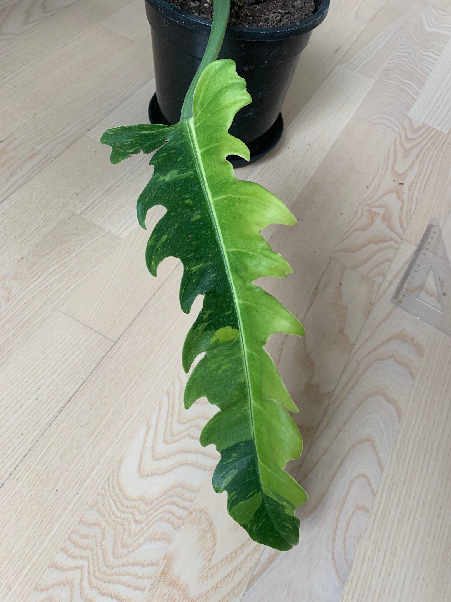 Monstera liknande växt