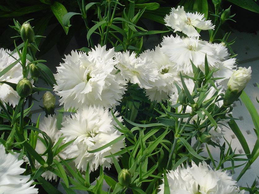 Fr nejlika dv rg och dubbelblommande vit grace white f1 5 for Planta ornamental blanca nieves
