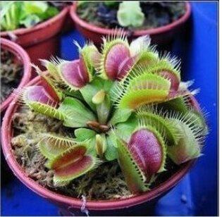 20 st frön Köttätande växt Dionaea Muscipula