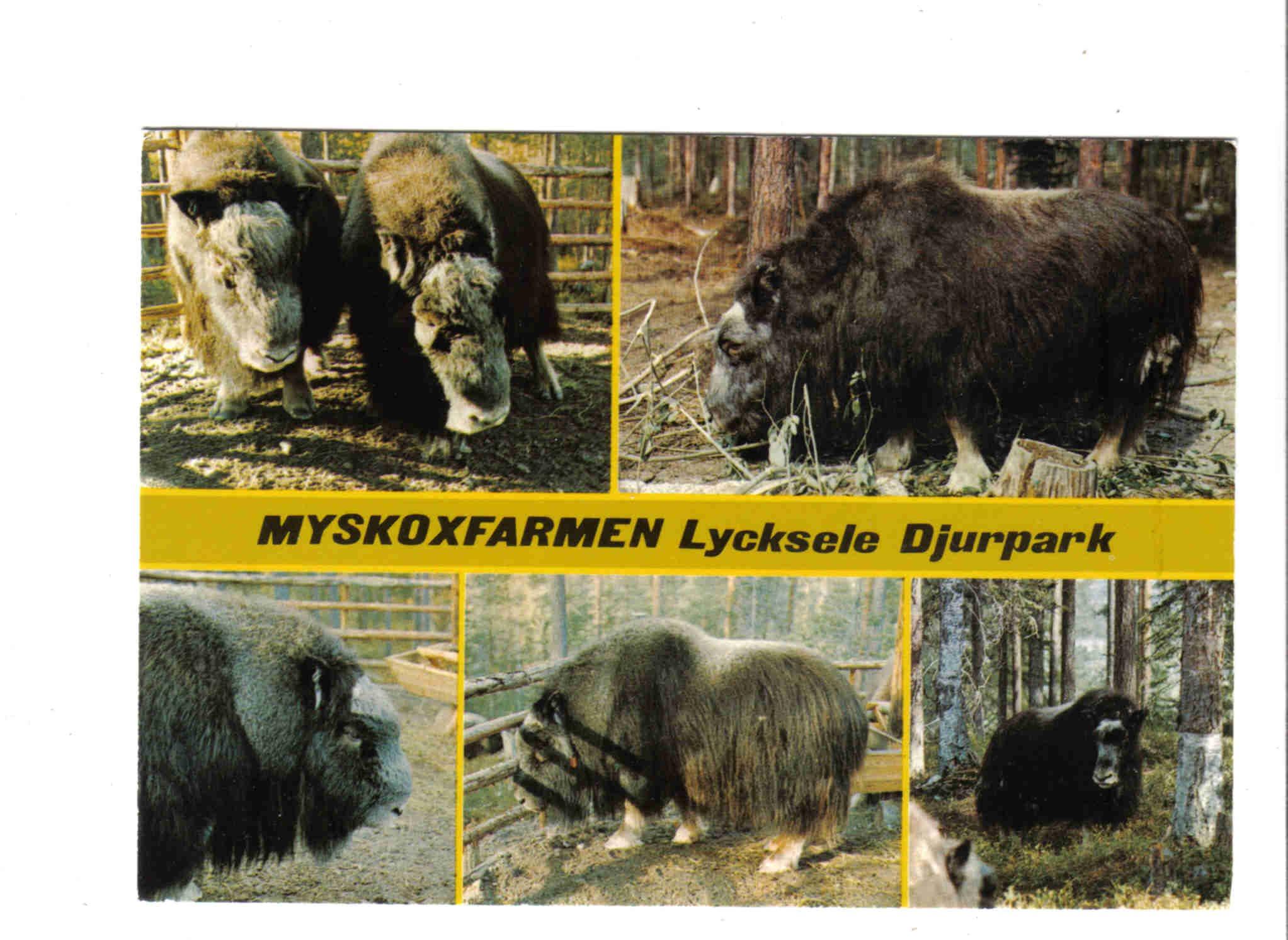 Lycksele Djurpark Myskoxe 309603969 ᐈ Köp På Tradera