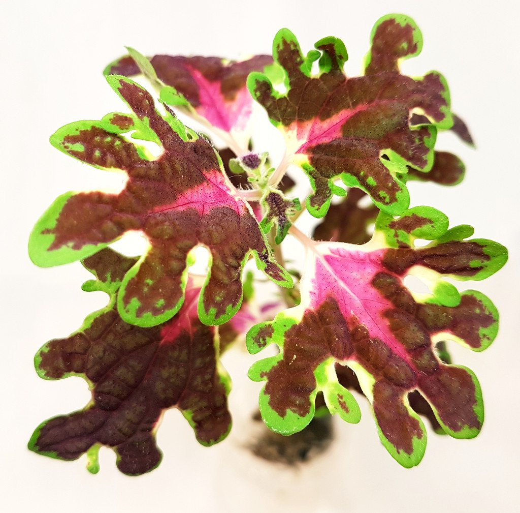 burgundy wedding train Coleus/palettblad