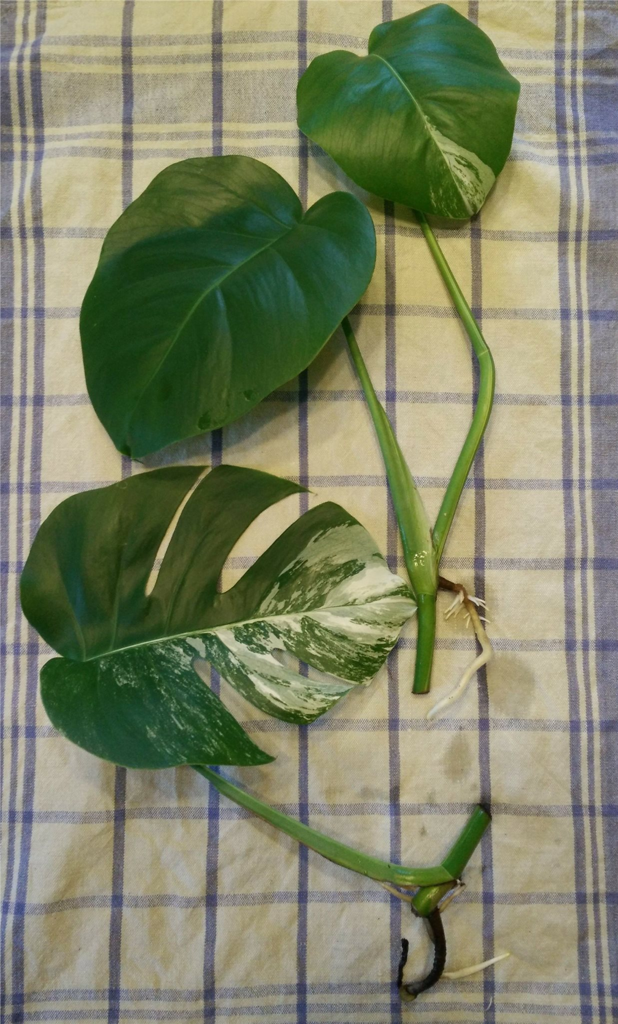 sticklingar från monstera