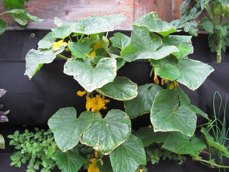 Växthus För Balkong : Ny gurka passar mindre växthus balkong sprider ej ut sig på