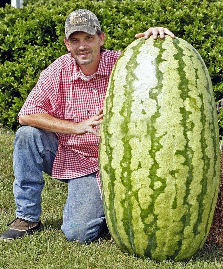 odla vattenmelon i sverige
