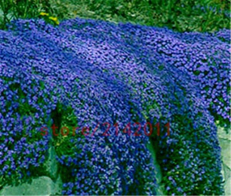 100st 100st 100st frön Aubrieta Cascade CASCADE BLUE -Blå fbaf90
