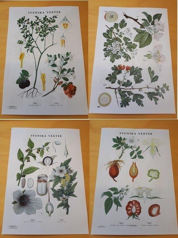flora svenska växter