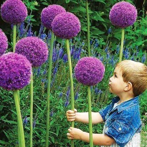 Frön 100 st Stora Allium Giganteum