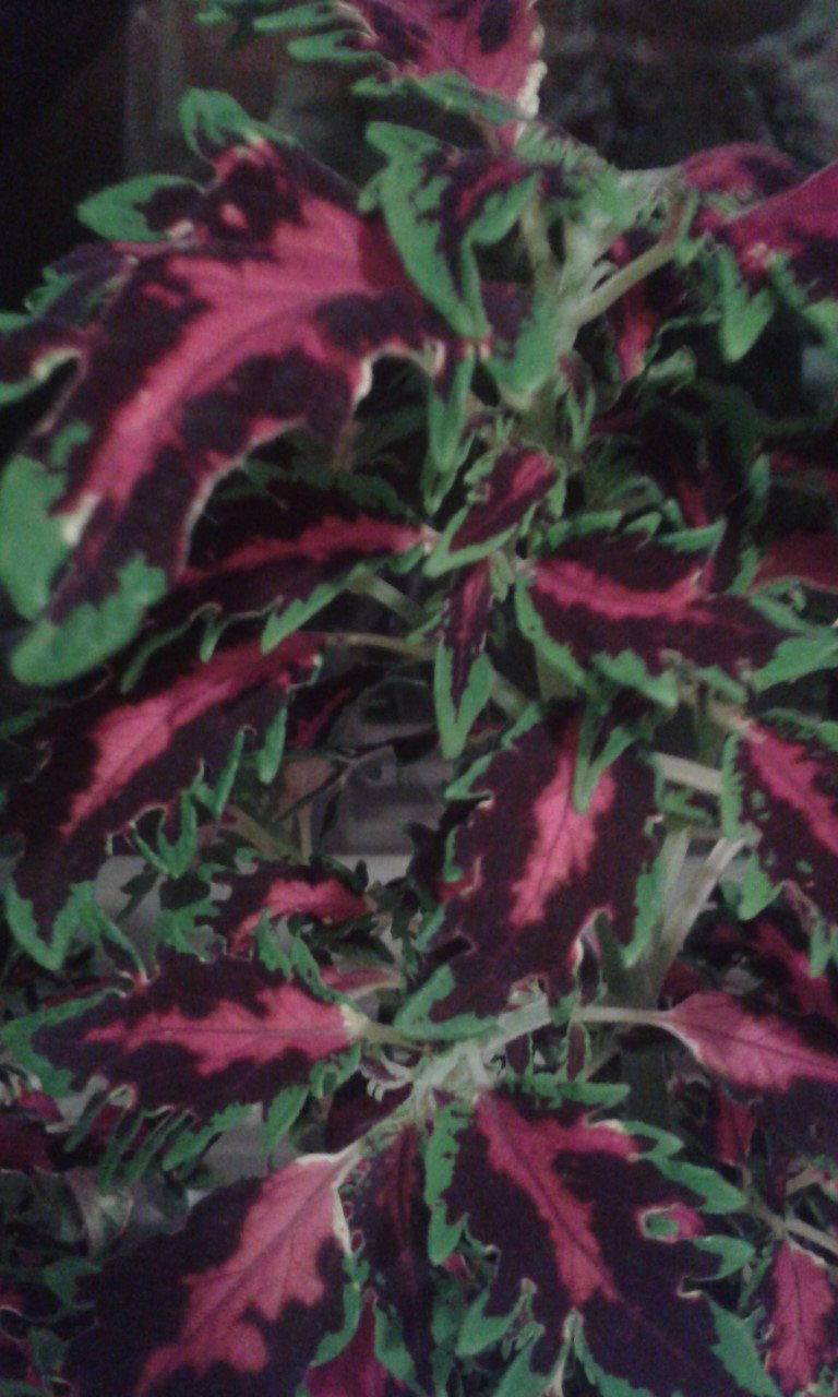 Vacker palettblad ett skot på Tradera.com - Blommande krukväxter |