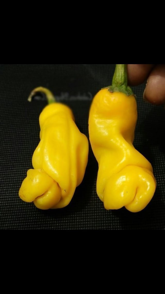 gul penis