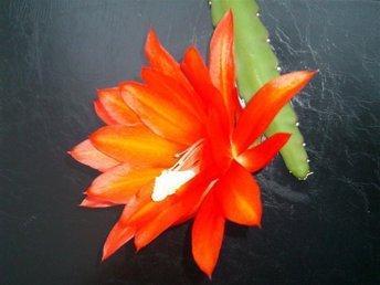 Storbladig kaktus Kungskaktus - Disocactus hybridus- Röd - Lomma - Storbladig kaktus Kungskaktus - Disocactus hybridus- Röd - Lomma