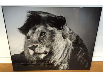 "Laurent Baheux ""Lion in the wind 2"" Limiterat foto 60+75cm i plexiglas"