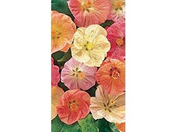 Javascript är inaktiverat. - Västra Frölunda - 10 fina färska fröer från erkänd engelsk fröfirma. Abutilon kan odlas som krukväxt under vinterhalvåret. På sommaren stortrivs den utomhus. Giant Flowering Mixed har extra stora blommor i fina nyanser av rött, laxfärgat, gult - Västra Frölunda