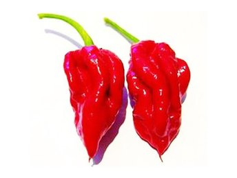 Ecuadorian Devil's Breath Chili - HET chilli !!! (Capsicum Chinese) 4 - 5 frön - Tibro - Ecuadorian Devil's Breath Chilli är en av de mest kända heta chili från Ecuador. Växten producerar massor av extremt heta chili. Ger en stor skörd av chili med kryddig fruktig smak. Denna sort kan nå upp till 325 000 SHU (Scoville-skalan). H - Tibro