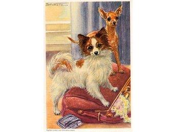 Samlarbild - Papillon - Chihuahua - Hund - 1960 - Stenungsund - Samlarbild - Papillon - Chihuahua - Hund - 1960 - Stenungsund