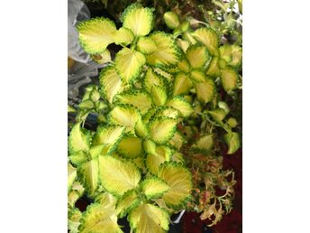 Electric Slide coleus/palettblad