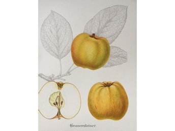 SWEDISH FRUITS OLD BOTANICAL PRINT SVENSKA FRUKTER PLANSCH ÄPPLE Gravensteiner