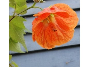 Apfelsine - orange Abutilon - Blomsterlönn- så vacker!