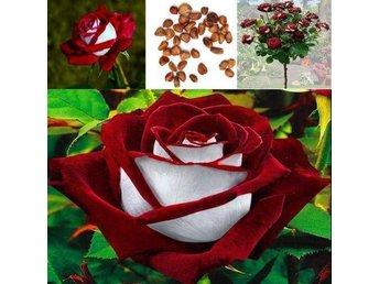 Vacker ros 100 stycken frön trädgård plantera odla ovanlig - Vittsjö - Vacker ros 100 stycken frön trädgård plantera odla ovanlig - Vittsjö