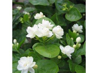 jasmin blomma inomhus