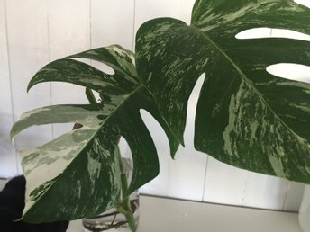 Monstera Variegata  stickling.