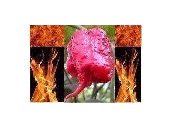 Carolina Reaper - Världens starkaste chili - 4 5 SUPERHETA frö - Tibro - Carolina Reaper - Världens starkaste chili - 4 5 SUPERHETA frö - Tibro