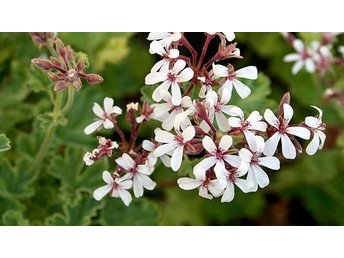 **Pelargonium x fragrans** En Rotade stickling