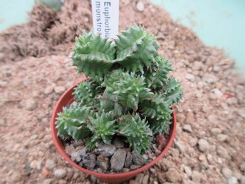 Euphorbia horrida monstrousus