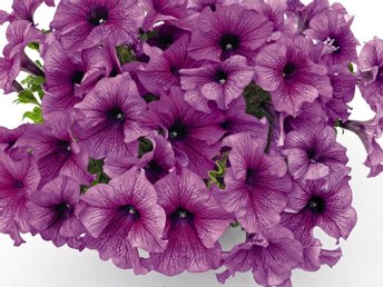 "Petunia ""Success Purple vein"" 5  frön"