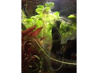 Amazon Frogbit 5 -pack