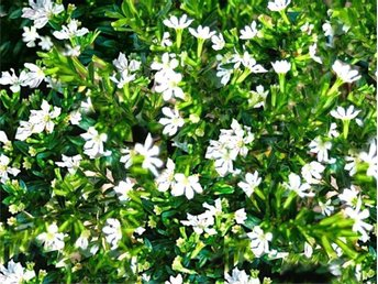 Cuphea hyssopifolia -Alba - åkers Styckebruk - Cuphea hyssopifolia -Alba - åkers Styckebruk