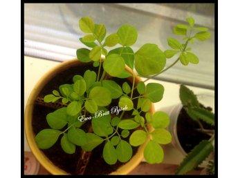 moringa oleifera frön