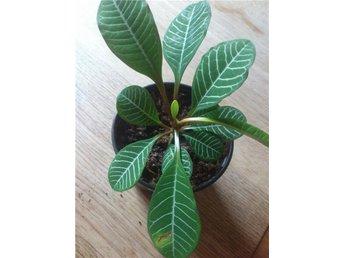 Skvätt iväg (euphorbia leuconeura) planta - Brastad - Skvätt iväg (euphorbia leuconeura) planta - Brastad