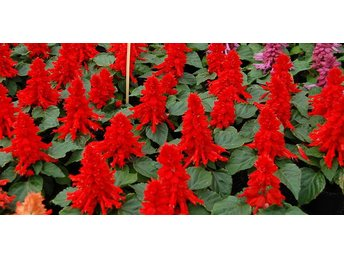 "Salvia ""Reddy Bright Red"" 12 frön"