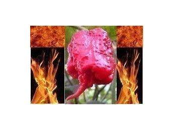 Carolina Reaper - Världens starkaste chili - 4 SUPERHETA frö - Tibro - Carolina Reaper - Världens starkaste chili - 4 SUPERHETA frö - Tibro
