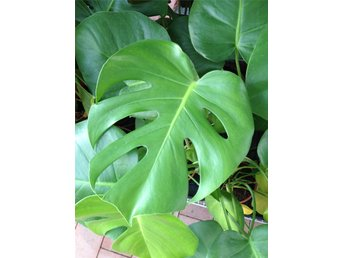 MONSTERA DELICOSA  -  1st planta