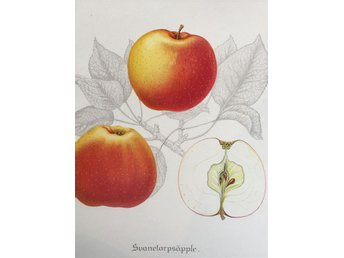 SWEDISH FRUITS OLD BOTANICAL PRINT SVENSKA FRUKTER PLANSCH ÄPPLE Svanetorps