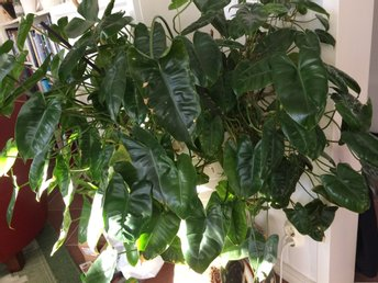 Philodendron mini green