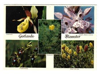 Gotland - olika orkideer - Segeltorp - Gotland - olika orkideer - Segeltorp