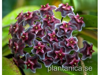 Hoya pubicalyx  Hawaian Royal Purple IML 56 orotad