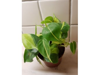 Philodendron Scandens Brazil- 1st planta