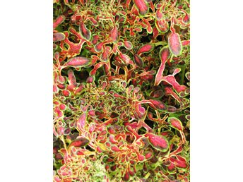 Under The sea ® red coral stickling palettblad coleus