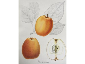 SWEDISH FRUITS OLD BOTANICAL PRINT SVENSKA FRUKTER PLANSCH ÄPPLE Åkerö-