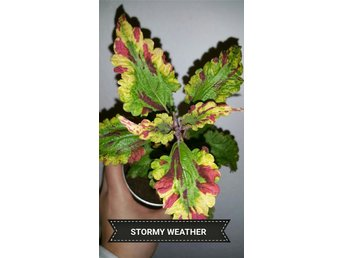 Palettblad coleus   rotade STORMY WEARTHER