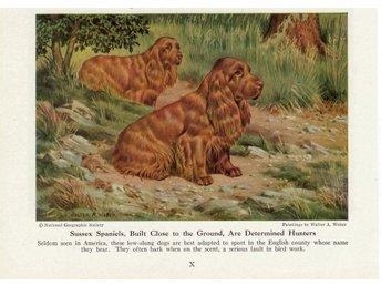 BOOK OF DOGS - 1958 - SUSSEX SPAANIEL - Stenungsund - BOOK OF DOGS - 1958 - SUSSEX SPAANIEL - Stenungsund