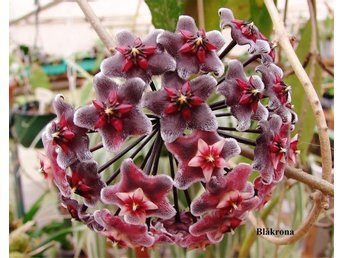 "Hoya Pubicalyx ""Royal Hawaian purple"""