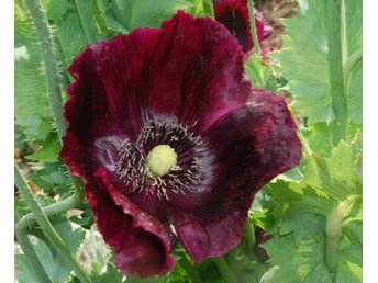Papaver somniferum 'Midnight' - Vallmo mörk