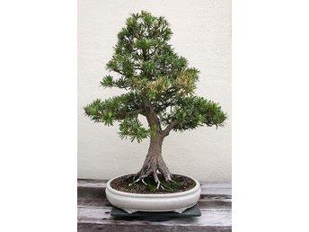 Buddhist Pine Bonsai - Eskilstuna - Buddhist Pine Bonsai - Eskilstuna