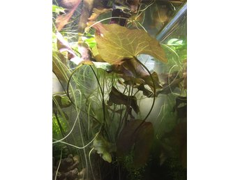 5 pack @@ Amazon Frogbit @@