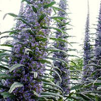 Echium pininana 'Blue steeple'